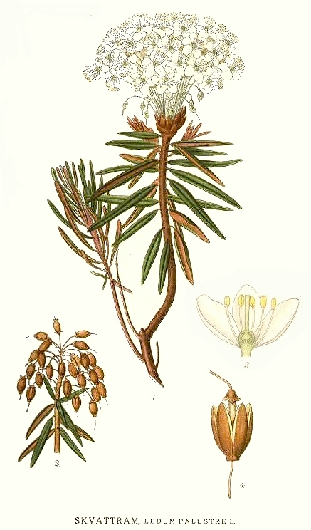 Ledum homeopathic remedy zettl homeopathy
